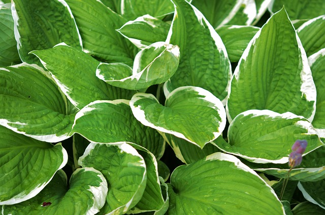 thehandymano mano mano low maintenance flowers hosta leaves