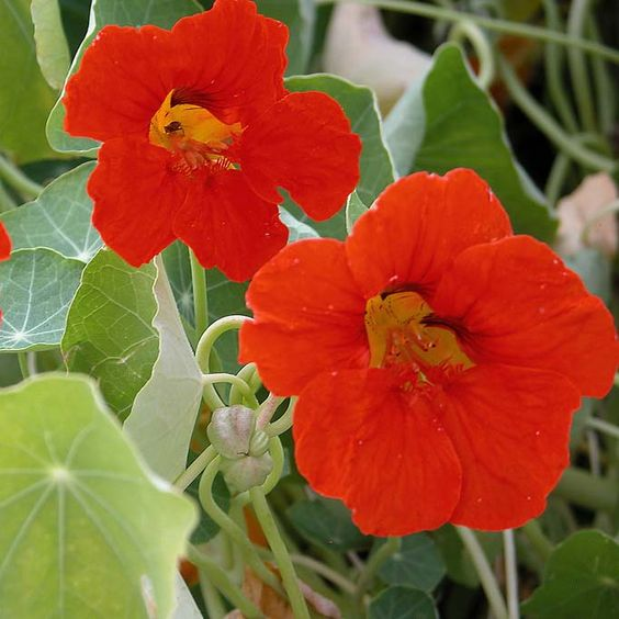 How to Help the Bees bee Friendly Plants the handy mano thehandymano mano mano garden gardening honeybee nasturtium