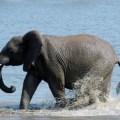 sensibilita di un elefante