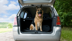 German Shepherd dog with tongue out sitting in SUV open trunk