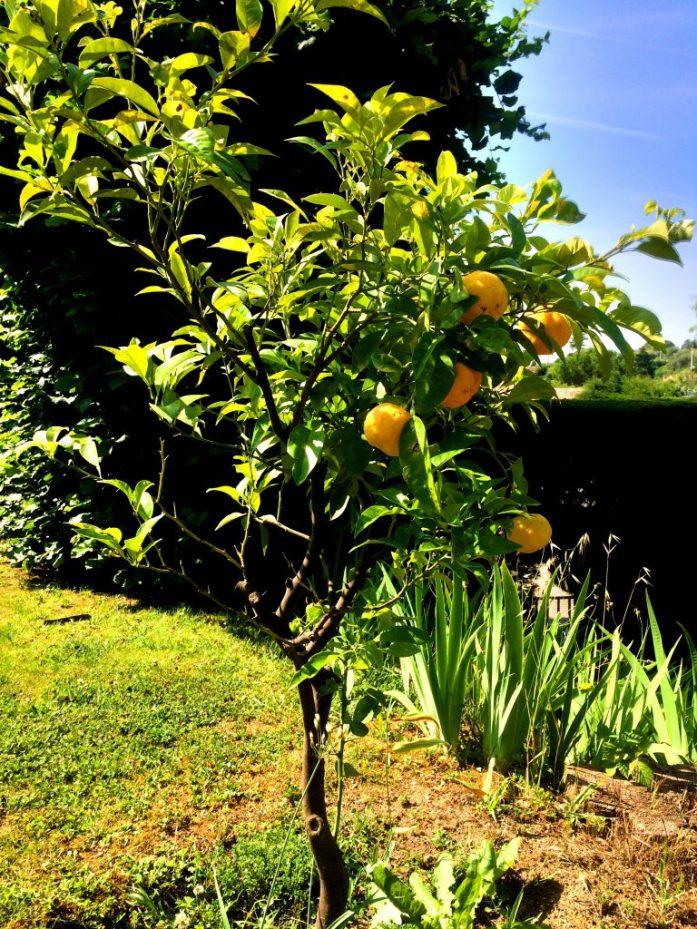 Pihan mandariinit todettiin vielä turhan kirpsakoiksi.
