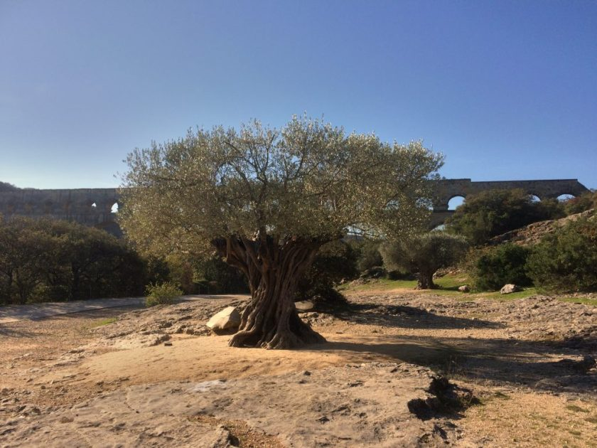 Oliivipuukin lienee jo satoja vuosia vanha.