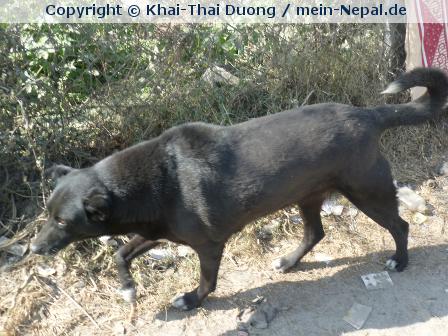 Das Hundeproblem in Nepal…