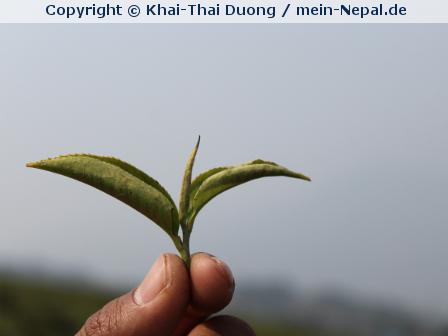 Tee aus Nepal – Höchster Genuss vom Dach der Welt