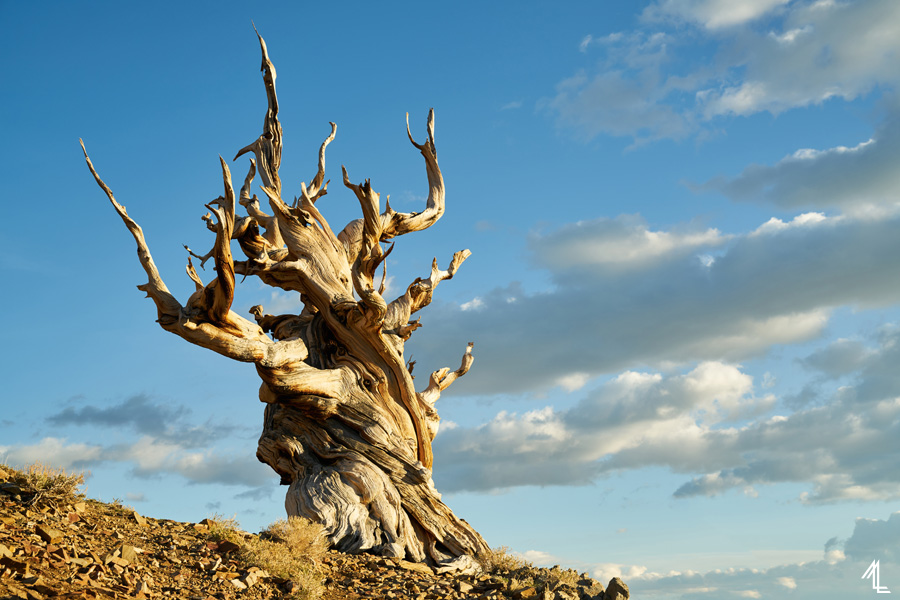 Ancient Bristlecone Pine Forest by Melly Lee (mellylee.com)