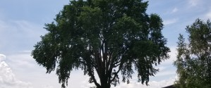 Image of a large elm tree