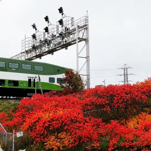 A train passes beside very red bushes.