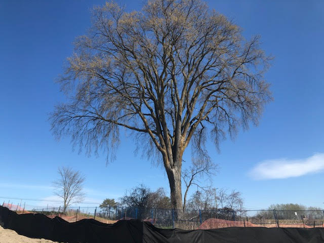 Image shows a large elm tree.