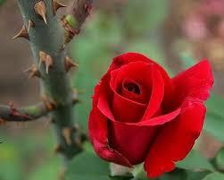 L11.imm.2.rosa+spine