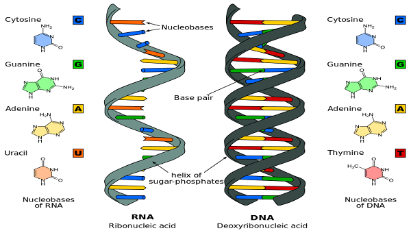 Difference_DNA_RNA-EN.svg_