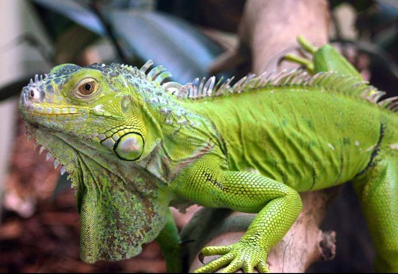 Que tal uma iguana em casa?