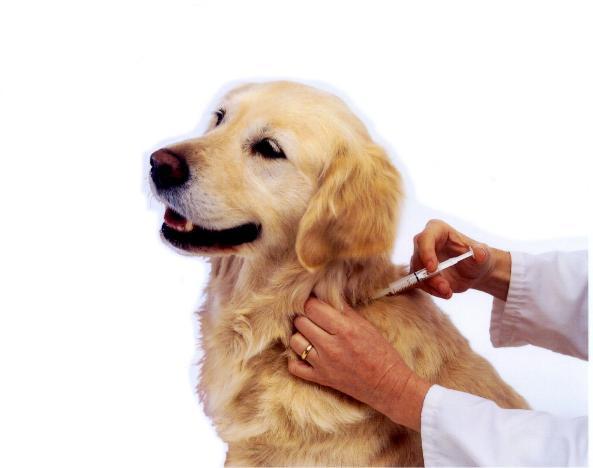 A importância das vacinas  para os pets