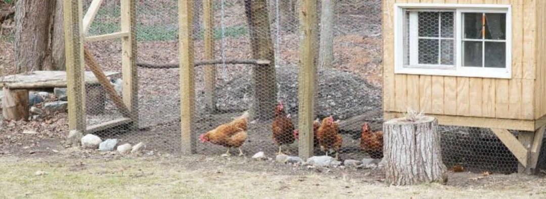 Cold Weather Chicken Coop Prep
