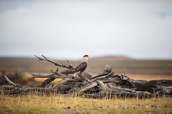 Caracara get high when they can.