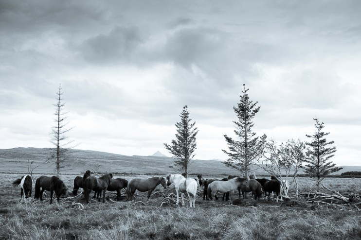 Icelandic horses along the river