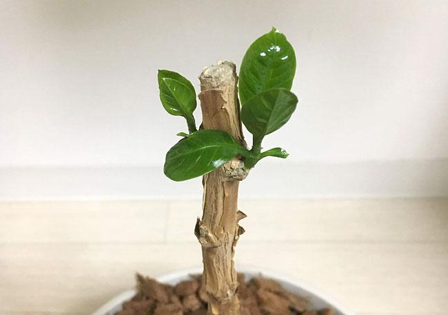 コーヒーの木の成長記録20190902_01