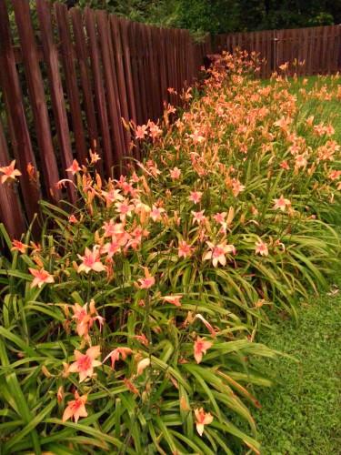 Pat Sloan day lillies