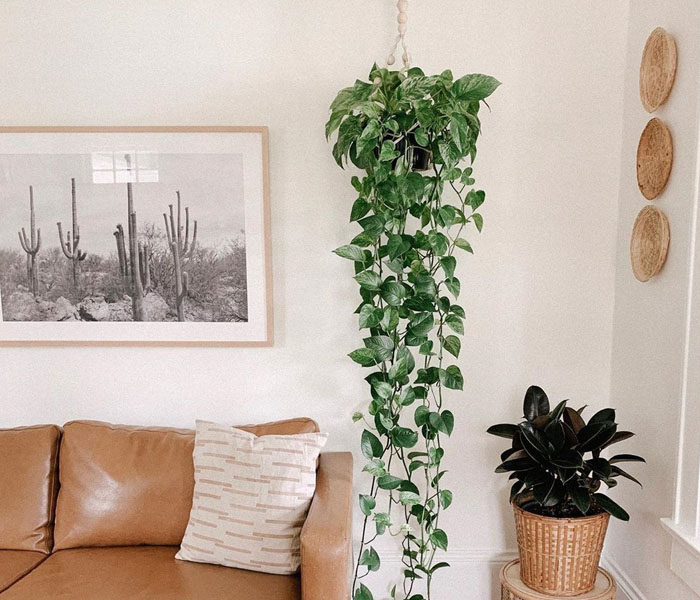 plantas internas jiboia