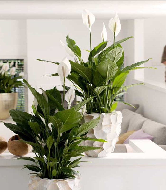 plantas internas lírio