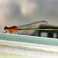 Dragon Fly Visit