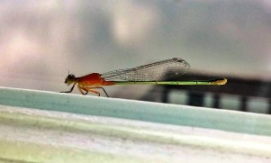 Dragon Fly Visit