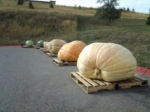 Variety of Montana's largest pumpkins