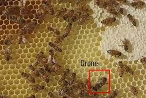What does a drone bee look like?