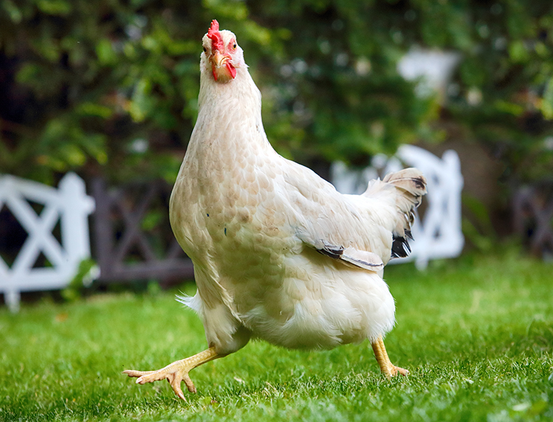 Chickens have personalities that are entertaining, just like other pets