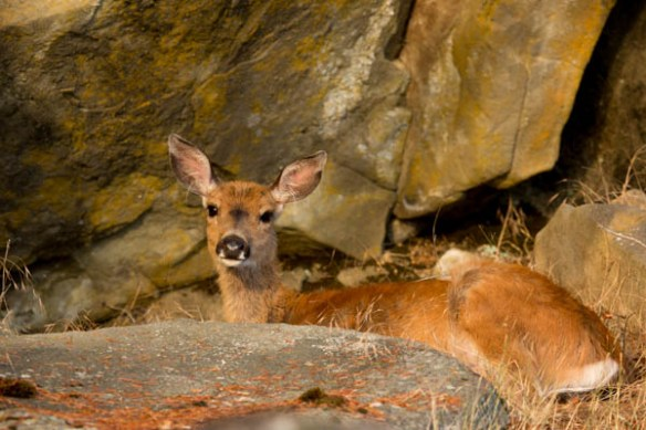 mv Archimedes Wallace Island Princess Cove Deer