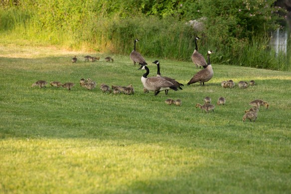 mv Archimedes Geese and babies at Roche HArbor