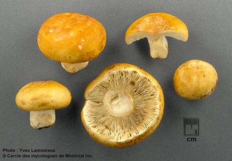 Russula ameribarlae Y. Lamoureux nom. prov. / Russule fausse-barlae