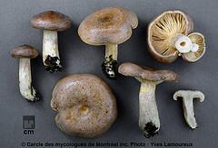 Lactarius mackinawensis Hesler & A. H. Sm. / Lactaire de Mackinaw