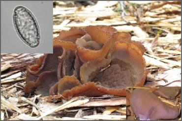 Fig. 8. Peziza phyllogena : Spores presque fusiformes, vers 18-22 µm avec des fines verrues obtuses, isolées et partiellement anastomosées.