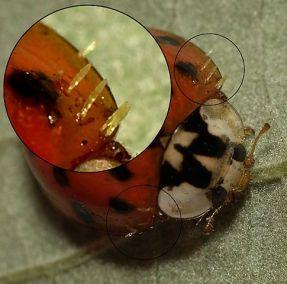 Laboulbeniales sur la coccinelle asiatique <br>PHOTO : Wiki Commons (det. Harry S./insektenfotos.de); from Cologne, Germany.)