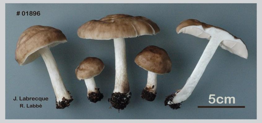 Pluteus cervinus, un complexe d'espèces à préciser.