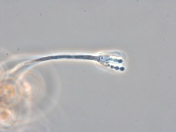 penicilium