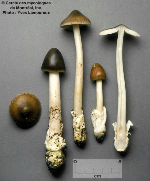 Amanita subnigra