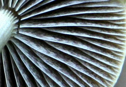 Protostropharia semiglobata  PHOTO : Jacques Landry