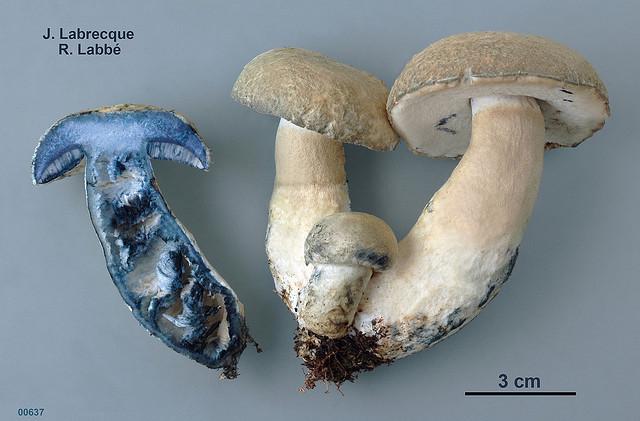 Gyroporus cyanescens / Bolet bleuissant PHOTO : Jacqueline Labrecque