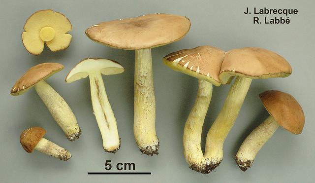 Hemileccinum subglabripes / Bolet à pied glabrescent PHOTO : Jacqueline Labrecque