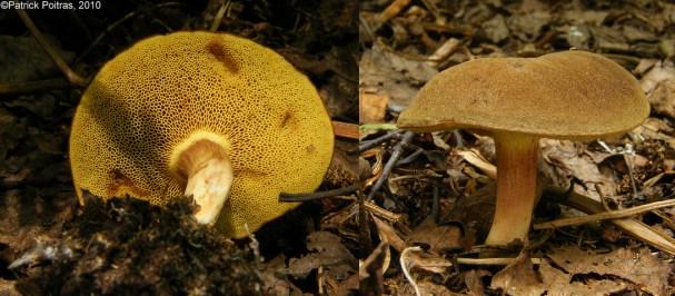 Xerocomus subtomentosus s. l. / Bolet subtomenteux PHOTO : Patrick Poitras