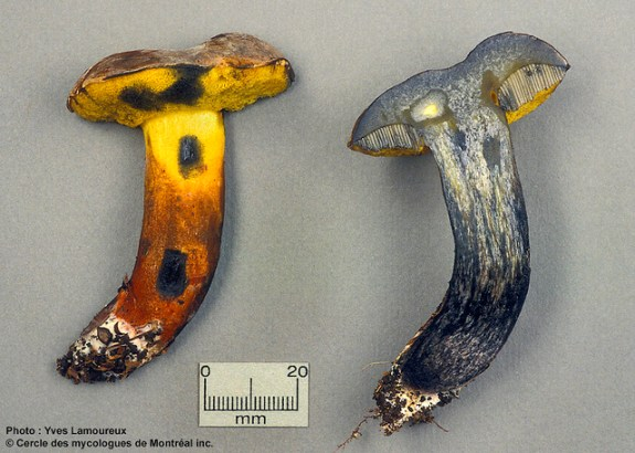Cyanoboletus pulverulentus / Bolet pulvérulent <PHOTO Yves Lamoureux