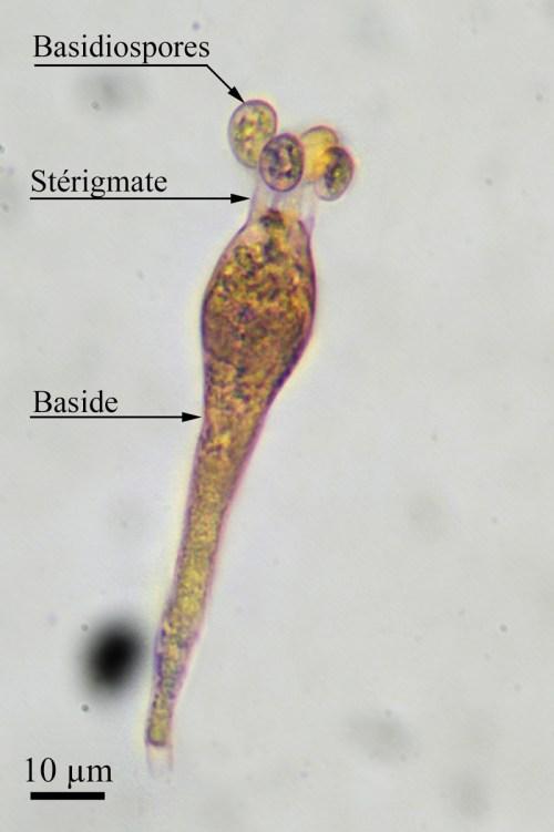 Fig. 2. Amanita sp - section vaginatae. Holobaside tétrasporée typique des Agaricales. Par définition, la baside inclut les stérigmates. ©Guy Fortin
