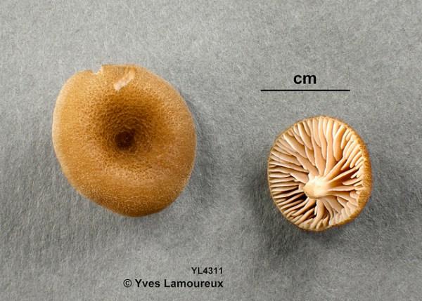 Entoloma cuboideum Hesler (D) / Entolome à spores cubiques Hesler (D) / Entolome à spores cubiques = Entoloma percubisporum Y. Lamoureux nom. prov. = Leptonia percubispora Y. Lamoureux nom. prov. = Inocephalus percubisporus Y. Lamoureux nom. prov. = Leptonia cuboidea (Hesler) Y. Lamoureux comb. prov. = Inocephalus cuboideus (Hesler) Y. Lamoureux comb. prov. Sainte-Julienne (Lanaudière-Sud), le 26 août 2015. Collection Lamoureux 4311b (fongarium YL). Habitat: au sol, en terrain boueux (dans une mare asséchée), par temps sec, sous hêtres, érables et pins.