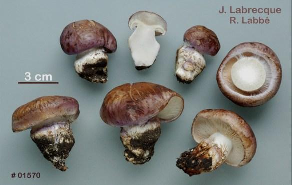 Cortinarius variecolor var. marginatus