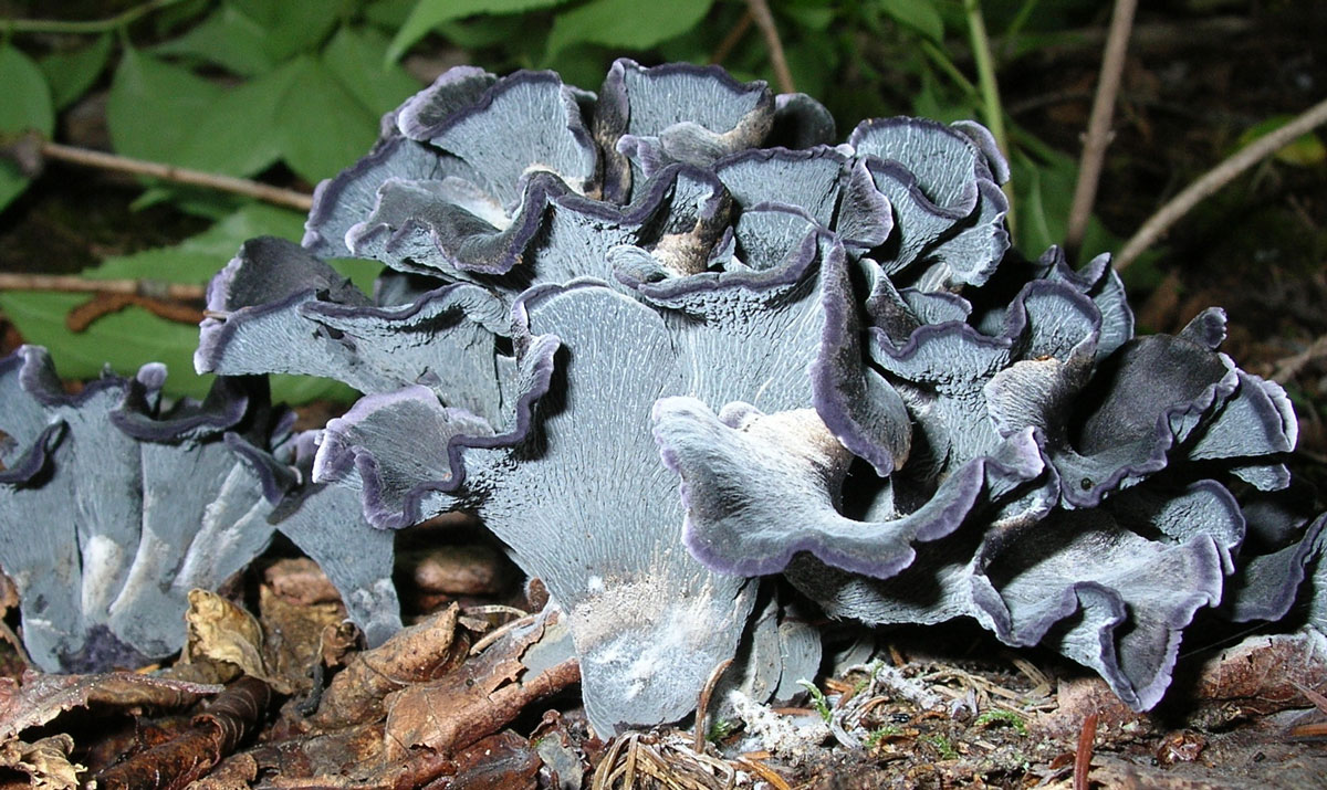 Des polyozelles… chanterelle bleue, noire ou brune.
