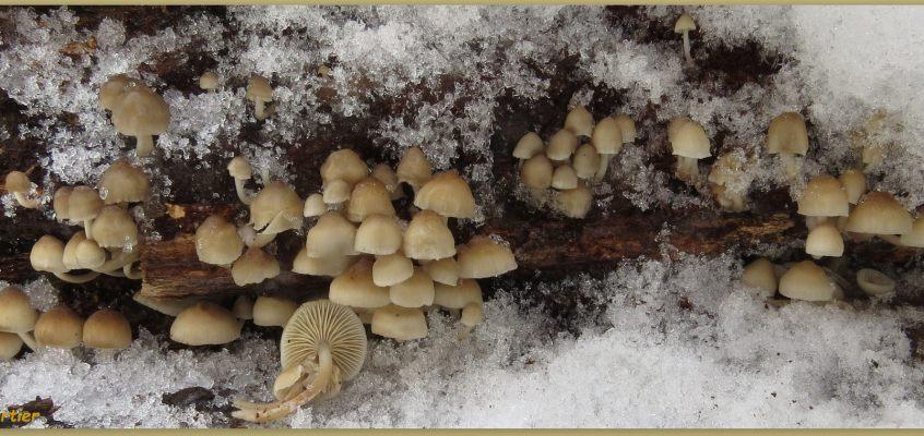 Ma découverte de la mycène d'avril, un champignon perce-neige.