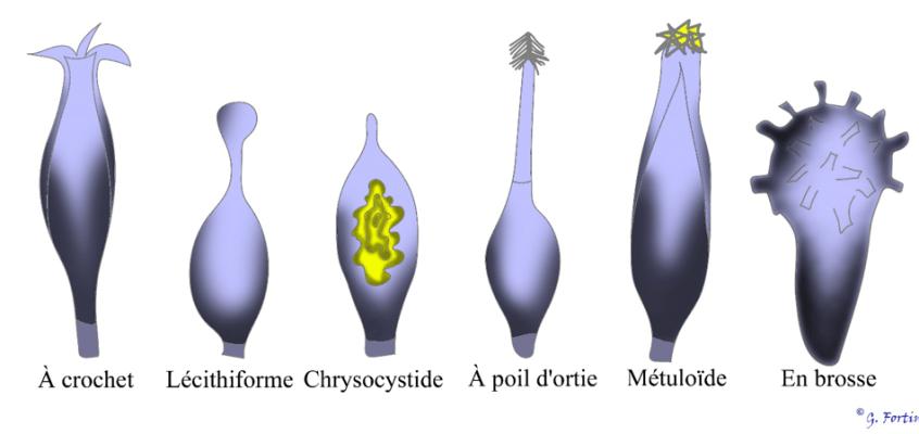 Les cystides des hyménomycètes