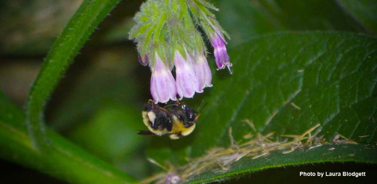 mother of comfrey flower with bumble bee