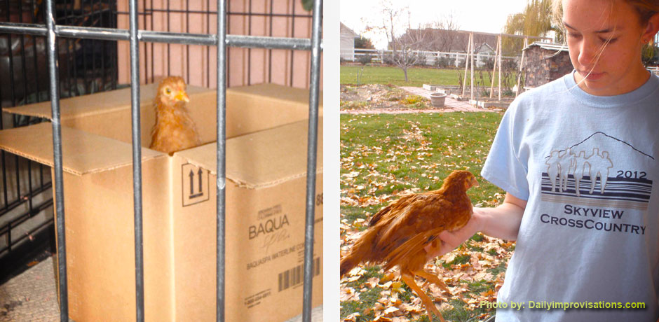 Chicken in a box and how to carry a chicken